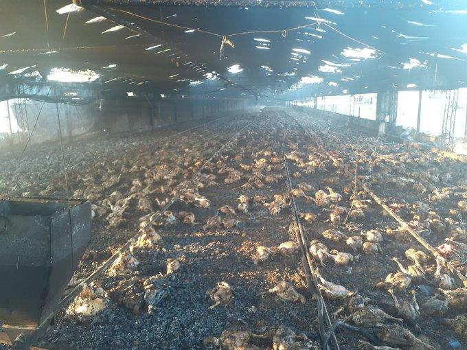 Incendio en departamento Las Colonias deja miles de pollos muertos