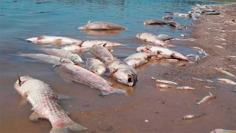 Mortandad de peces; la principal hipótesis es la falta de oxígeno